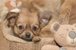 Young puppy chihuahua next to its teddybear