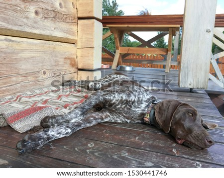 Young puppy dog - breed German Shorthaired Pointer #1530441746