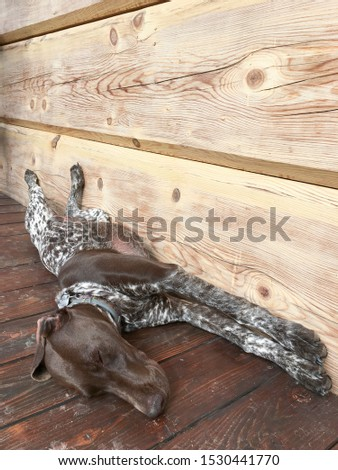 Young puppy dog - breed German Shorthaired Pointer #1530441770