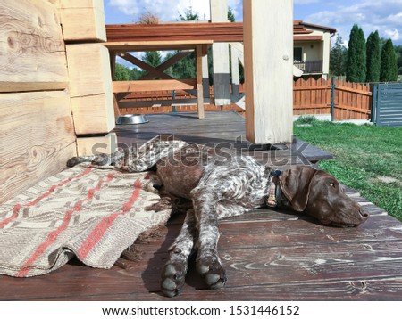 Young puppy dog - breed German Shorthaired Pointer #1531446152