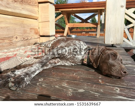 Young puppy dog - breed German Shorthaired Pointer #1531639667