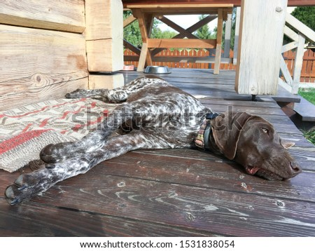 Young puppy dog - breed German Shorthaired Pointer #1531838054