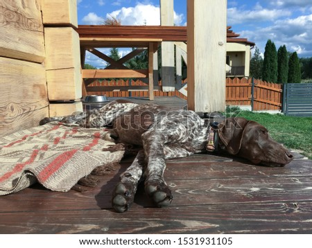 Young puppy dog - breed German Shorthaired Pointer #1531931105