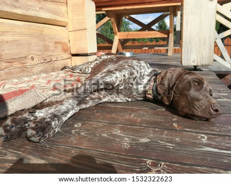 Young puppy dog - breed German Shorthaired Pointer #1532322623