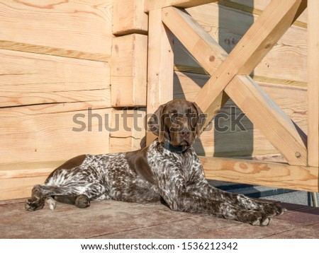 Young puppy dog - breed German Shorthaired Pointer #1536212342