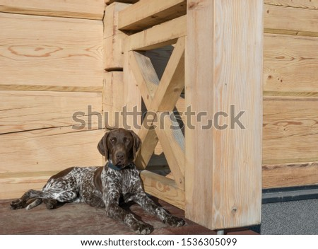 Young puppy dog - breed German Shorthaired Pointer #1536305099