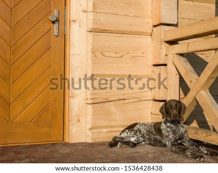 Young puppy dog - breed German Shorthaired Pointer #1536428438