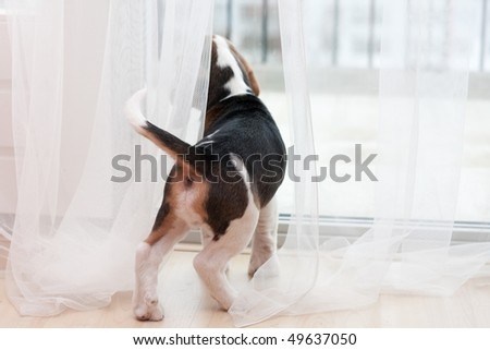 Young puppy of beagle at home. Looking at window