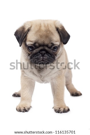 Young puppy pug. Isolated on white