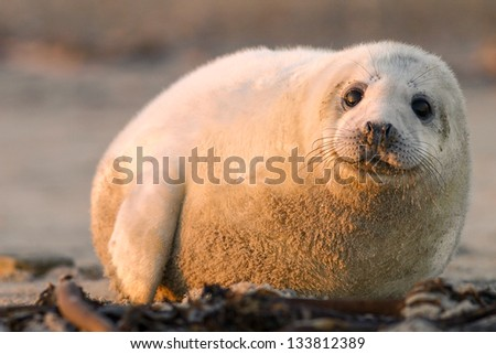 young puppy seal close up