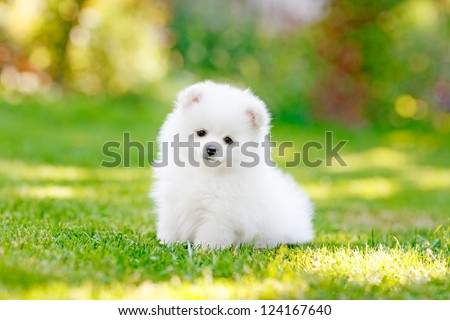 Young puppy Spitz loks at the camera