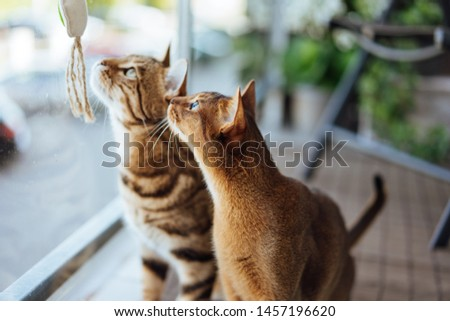Young purebred Abyssinian and bengal cats playing with toy #1457196620