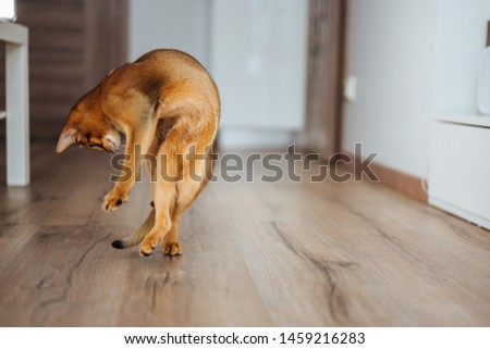 Young purebred abyssinian cat playing and jumping. #1459216283