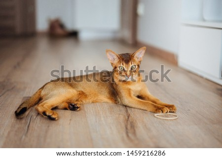 Young purebred abyssinian cat playing and jumping. #1459216286