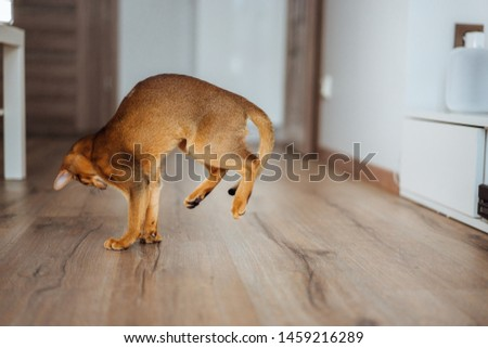 Young purebred abyssinian cat playing and jumping. #1459216289