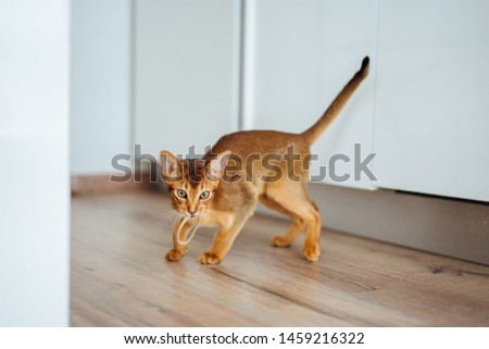Young purebred abyssinian cat playing and jumping. #1459216322