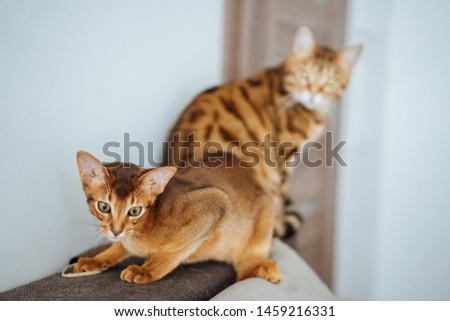 Young purebred abyssinian cat playing and jumping. #1459216331