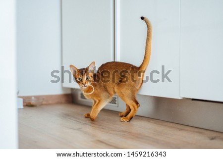 Young purebred abyssinian cat playing and jumping. #1459216343