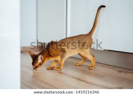 Young purebred abyssinian cat playing and jumping. #1459216346