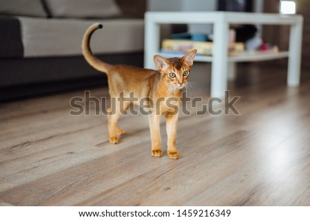 Young purebred abyssinian cat playing and jumping. #1459216349