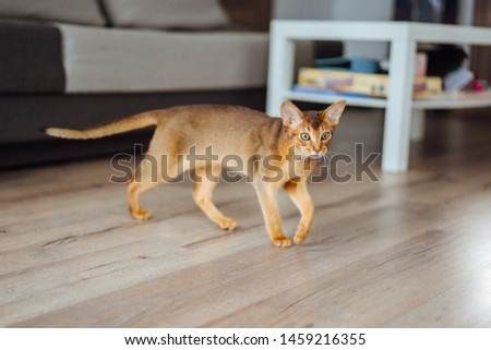 Young purebred abyssinian cat playing and jumping. #1459216355