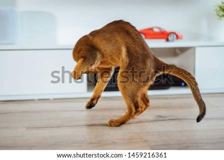 Young purebred abyssinian cat playing and jumping. #1459216361