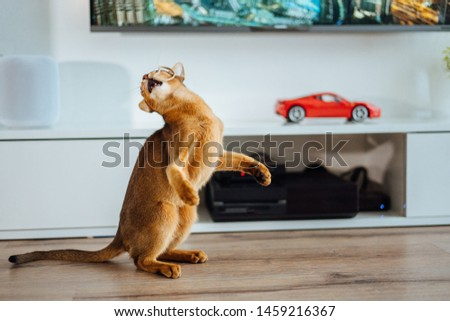 Young purebred abyssinian cat playing and jumping. #1459216367