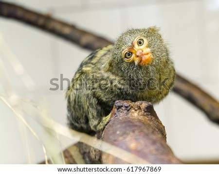 Young pygmy marmoset - Callithrix or Cebuella pygmaea