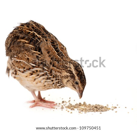 Young quail isolated on white background