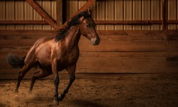 Young Quarter horse playing in an arena