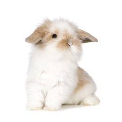 Young Rabbit in front of a white background