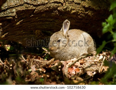 Young Rabbit in woodland during springtime surrounded by fallen tree and leaves