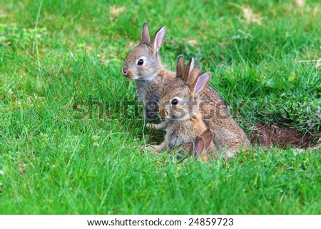 Young rabbits coming out of their hole in the back yard bunny