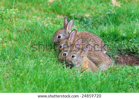 Young rabbits coming out of their hole in the back yard spring