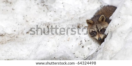 Young raccoon peeks out from behind a snow bank with copy space.