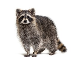 Young Raccoon standing in front and facing at the camera isolated on white