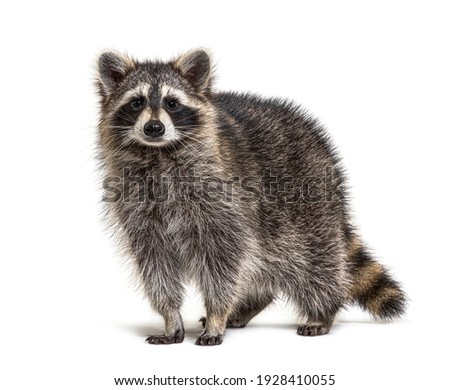 Young Raccoon standing in front and facing at the camera isolated on white Stock photo ©
