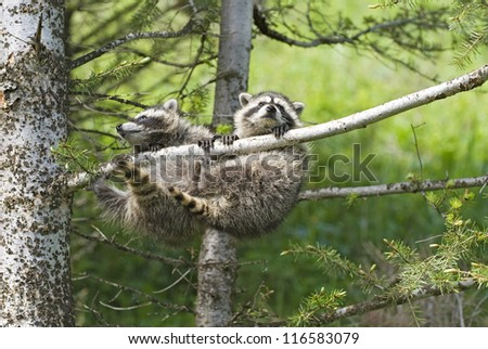 Young raccoons hanging in tree