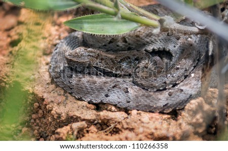 Young rattlesnake in the dried grass in the Canaima national park  - Gran Sabana, Venezuela