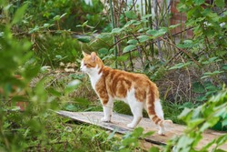 young red and white tomcat stands on a weathered piece of wood surrounded by natural greenery in an uncultivated garden