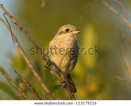 Young Red-backed Shrike
