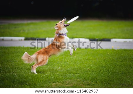 young red border collie catching flying disc in summer