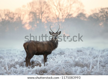 Young red deer buck standing in the frosted grass on an early cold winter morning, England. Animals in winter. #1175083993