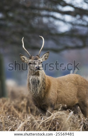 young red deer in bushy park