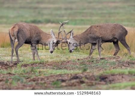 Young Red Deer Stags (Cervus elaphus) battling in rutting season #1529848163