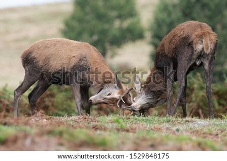 Young Red Deer Stags (Cervus elaphus) battling in rutting season #1529848175