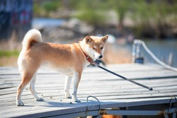 Young red dog shiba inu in a red collar is standing on a wooden pier on the background of the river.
