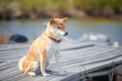 Young red dog shiba inu in a red collar sitting on a wooden pier on the background of the river.