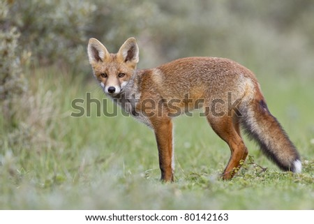 Young red fox in the dunes
