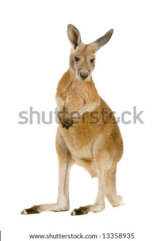 young red kangaroo (9 months) - Macropus rufus in front of a white background